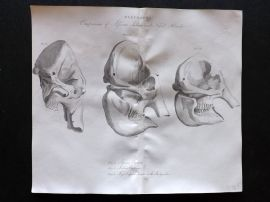 Cuvier C1830 Antique Print. Elephants. Comparison of African, Indian and Fossil Heads